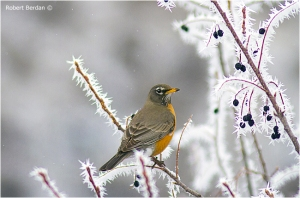 robin-branches-hoar-frost